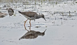 Lesser Yellowlegs - High Acres Nature Area - © Dick Horsey - May 03, 2016