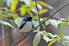 Black-throated Blue Warbler - Cobbs Hill - © Dick Horsey - May 05, 2016