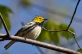 Black-throated Green Warbler - Cobbs Hill - © Jeanne Verhulst - May 07, 2016