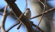 Tufted Titmouse - Cobbs Hill - © Dick Horsey - May 08, 2016