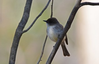 Eastern Phoebe - Cobbs Hill - © Dick Horsey - May 08, 2016