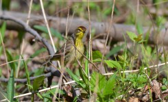 Palm Warbler - Island Cottage Woods (RBA Field Trip) - © Salvador Barragan - May 08, 2016