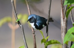 Black-throated Blue Warbler - Cobbs Hill - © Nick Kachala - May 09, 2016