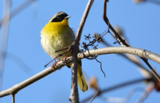 Common Yellowthroat - High Acres Nature Area - © Dick Horsey - May 10, 2016