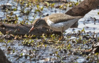 Spotted Sandpiper - High Acres Nature Area - © Dick Horsey - May 10, 2016
