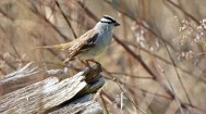 White-crowned Sparrow - High Acres Nature Area - © Dick Horsey - May 10, 2016