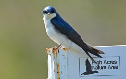 Tree Swallow - High Acres Nature Area - © Dick Horsey - May 10, 2016