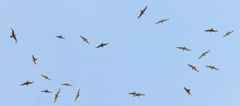 Ring-billed and Herring Gulls - High Acres Nature Area - © Dick Horsey - May 10, 2016