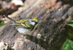 Chestnut-sided Warbler - Cobbs Hill - © Dick Horsey - May 16, 2016