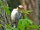 Red-bellied Woodpecker (F) - Irondequoit - © Candace Giles - May 16, 2016