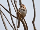 Song Sparrow - High Acres Nature Area - © Dick Horsey - May 18, 2016