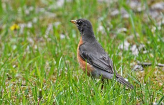 American Robin - High Acres Nature Area - © Dick Horsey - May 18, 2016