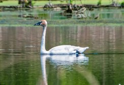 Trumpeter Swan - High Acres Nature Area - © Drew Yampanis - May 22, 2016