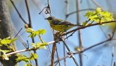 Magnolia Warbler - Firehouse Woods - © Dick Horsey - May 24, 2016