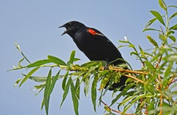 Red-winged Blackbird - High Acres Nature Area - © Dick Horsey - May 28, 2016