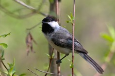 Black-capped Chickadee - Firehouse Woods - © Jeanne Verhulst - May 24, 2016