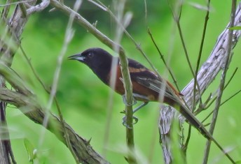 Orchard Oriole - Oatka Creek Park - © Jim Adams - Jun 02, 2016