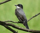 Eastern Kingbird - Avon - © Candace Giles - Jun 04, 2016