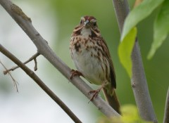 Song Sparrow - Beatty Point - © Dick Horsey - Jun 07, 2016