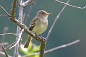 Willow Flycatcher - Beatty Point - © Dick Horsey - Jun 07, 2016