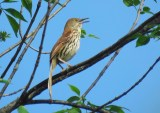 Brown Thrasher - Oatka Creek Park - © Jim Adams - Jun 07, 2016