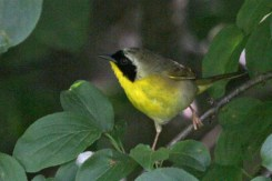 Common Yellowthroat - Letchworth Park (RBA Field Trip) - © Jeanne Verhulst - June 12, 2016