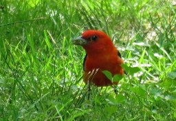 Scarlet Tanager - Oatka Creek Park - © Jim Adams - Jun 15, 2016