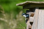 Tree Swallow - Whiting Road Preserve - © Dick Horsey - June 15, 2016