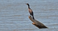 Double-crested Cormorant - Braddock Bay West Spit - © Dick Horsey - June 17, 2016