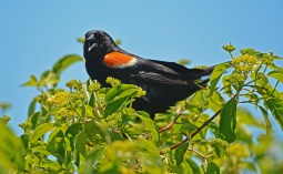 Red-winged Blackbird - Burger Park - © Dick Horsey - June 17, 2016