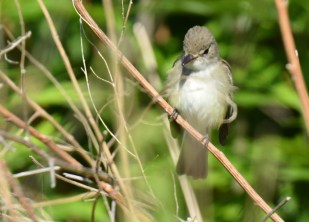 Willow Flycatcher - High Acres Nature Area - © Dick Horsey - June 21, 2016
