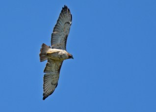 Red-tailed Hawk - High Acres Nature Area - © Dick Horsey - June 21, 2016