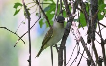Red-eyed Vireo - Mendon Ponds - © Dick Horsey - June 22, 2016
