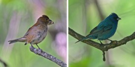 Indigo Bunting (F/M) - Mendon Ponds - © Dick Horsey - June 22, 2016