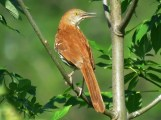 Brown Thrasher - Oatka Creek Park - © Jim Adams - June 18, 2016