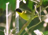 Common Yellowthroat - Oatka Creek Park - © Jim Adams - June 18, 2016