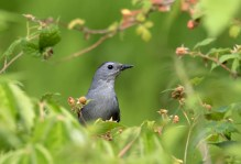 Gray Catbird - Buffalo - © Zaphir Shamma - June 26, 2016