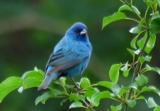 Indigo Bunting - Oatka Creek Park - © Jim Adams - June 29, 2016