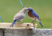 Eastern Bluebird - Pittsford - © Mary Ackley - Jul 03, 2016