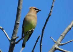 Cedar Waxwing - Oatka Creek Park - © Jim Adams - Jul 04, 2016