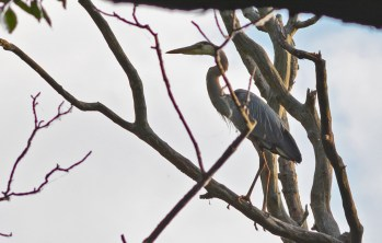 Great Blue Heron - Firehouse Woods - © Dick Horsey - Jul 06, 2016