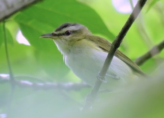 Red-eyed Vireo - Oatka Creek Park - © Jim Adams - Jul 08, 2016