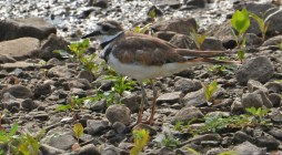 Killdeer - King's Bend Park - © Dick Horsey - Jul 15, 2016