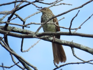 Brown Thrasher (Juv) - Oatka Creek Park - © Jim Adams - Jul 15, 2016