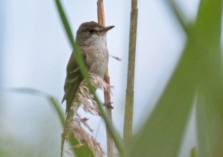 Willow Flycatcher - High Acres Nature Area - © Dick Horsey - Jul 16, 2016