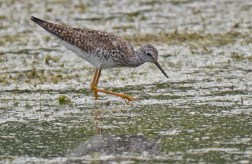 Lesser Yellowlegs - High Acres Nature Area - © Dick Horsey - Jul 16, 2016