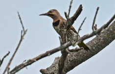 Northern Flicker - High Acres Nature Area - © Dick Horsey - Jul 18, 2016