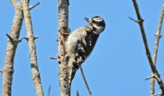 Downy Woodpecker - High Acres Nature Area - © Dick Horsey - Jul 19, 2016