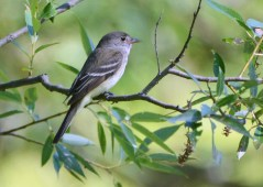 Willow Flycatcher - Mendon Ponds - © Dick Horsey - Jul 21, 2016