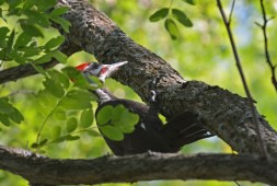 Pileated Woodpecker - Mendon Ponds - © Dick Horsey - Jul 21, 2016